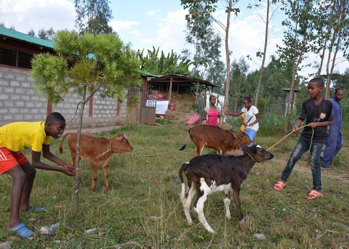 Ragazzini con dei vitelli nel cortile.